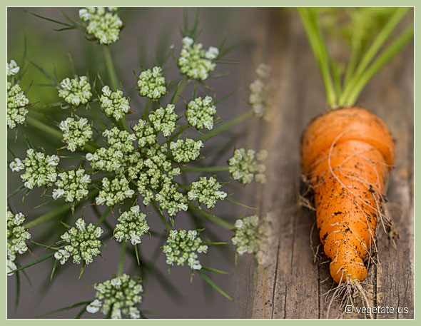 Homegrown Carrot w/Carrotflower ~ From Vegetate, Vegan Cooking & Food Blog