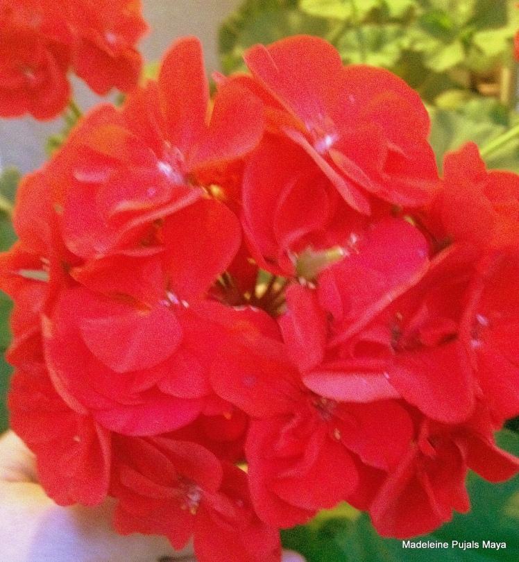 Arizona RED GERANIUM