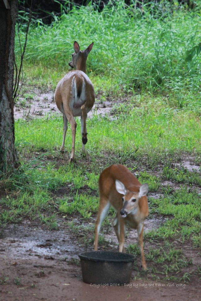 Big as a barrel, Scarlet heads back into the woods while her yearling doe snacks on a little deer chow.