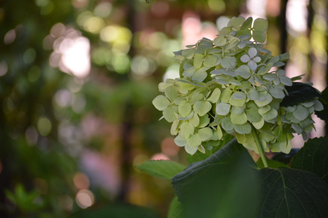 white hydrangea blossom in deep shade
