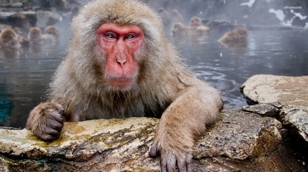 japanese-macaque-1184-1920x1080